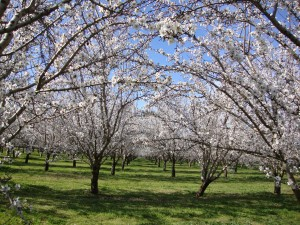 Our Almond Orchard in Full Bloom